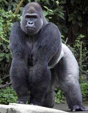 """The """"Not-So-Rare"""" Gorilla"""